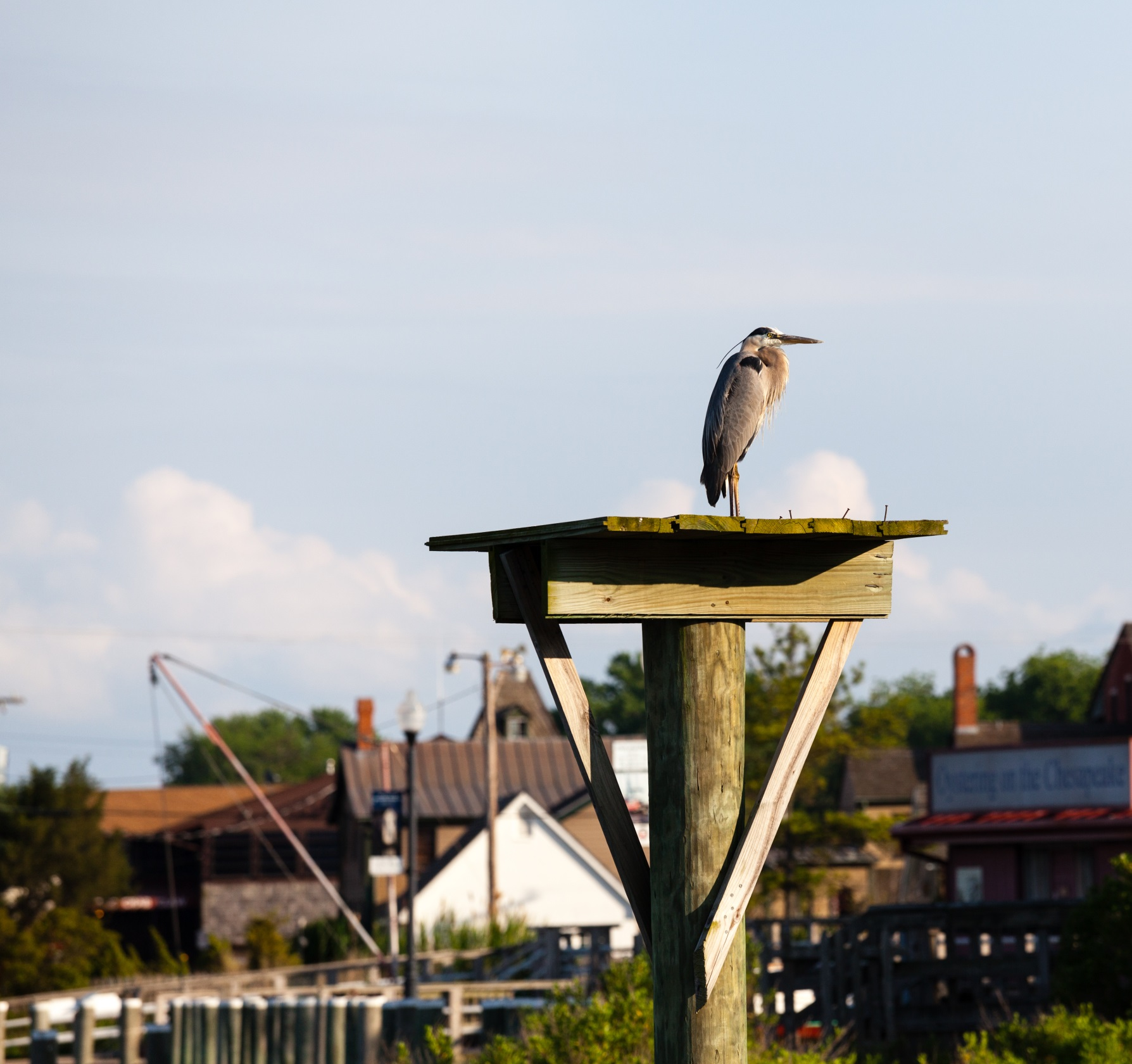 heron on post in St. Michaels