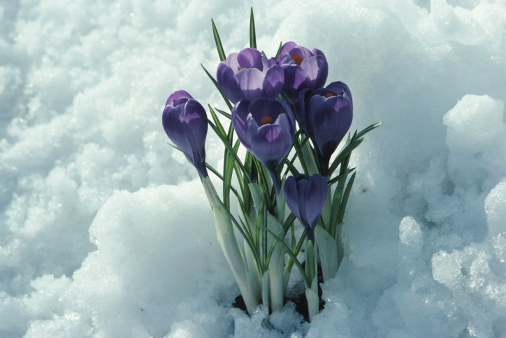 purple crocus sticking out of the snow